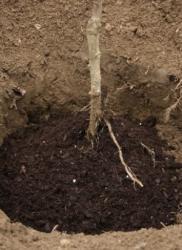 Kompost vrlo koristan mladoj sadnici (Snimio Dražen Kopač / Acumen)