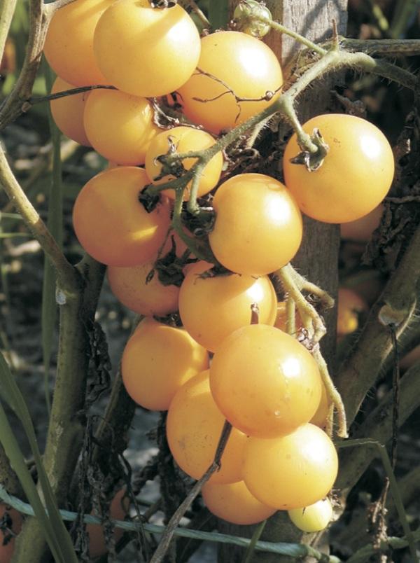 Plodnosna rajčica sorte Mirabelle (Dokumentacija Miće Brkanovića)