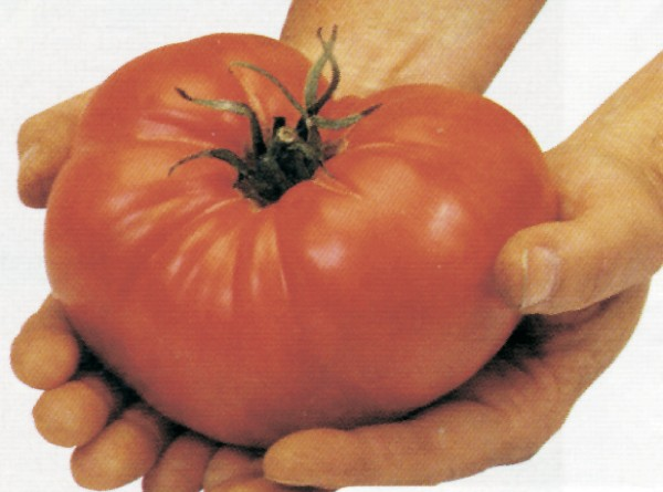 Divovska rajčica Russe podrijetlom je iz Rusije (Dokumentacija Miće Brkanovića)