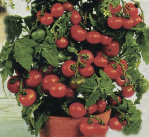 Rajčica za uzgoj na balkonu Minibel (Dokumentacija Miće Brkanovića)