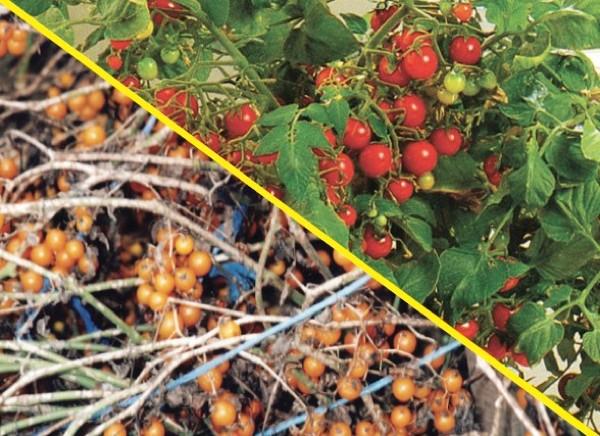 Divlja rajčica, preteča svih kultiviranih sorta (Dokumentacija Miće Brkanovića)