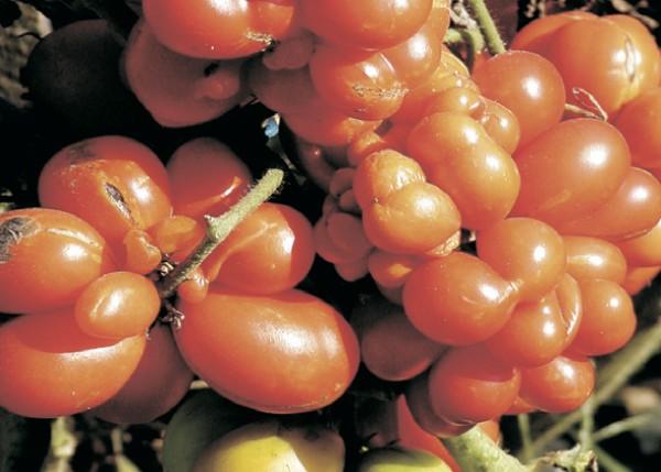 Osebujna rajčica sorte Voyager (Dokumentacija Miće Brkanovića)