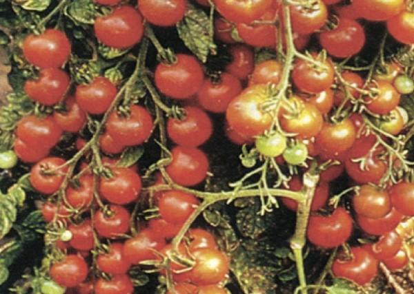 Koktel rajčica Cherry (Dokumentacija Miće Brkanovića)