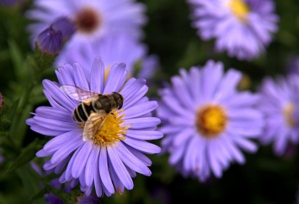 Pčela vrijedno prikuplja pelud (Fotografija Acumen)