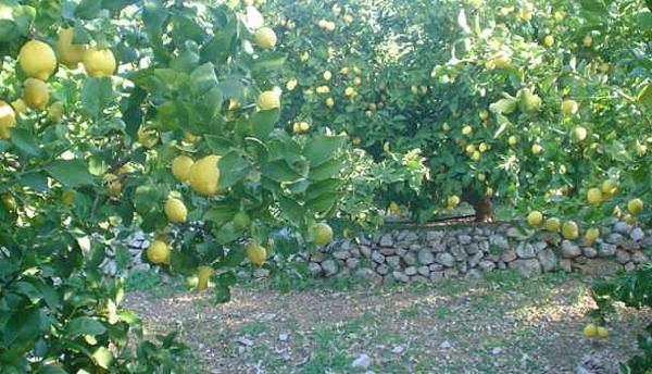 Nasad limuna u Dalmaciji (Snimio Stanislav Štambuk)