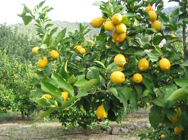 Raskošno rodna grana limuna (Snimio Stanislav Štambuk)
