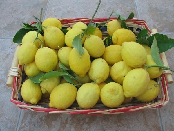 U boji limuna: sorta Meyer (Snimio Stanislav Štambuk)