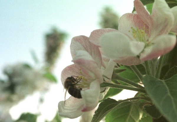 Pčela na paši (Fotografija veliki majstor pok. Jozo Petrić)