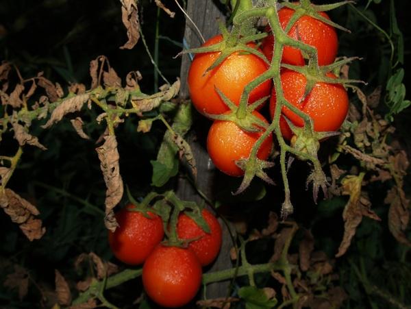 Rajčica uzgojena bez mikorize (Fotografija Bio-Budućnost)