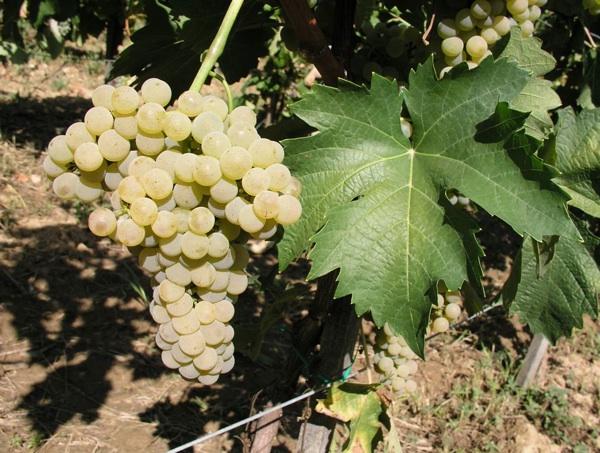Škrlet bijeli, grozd i list (Fotografija Ivan Pejić)