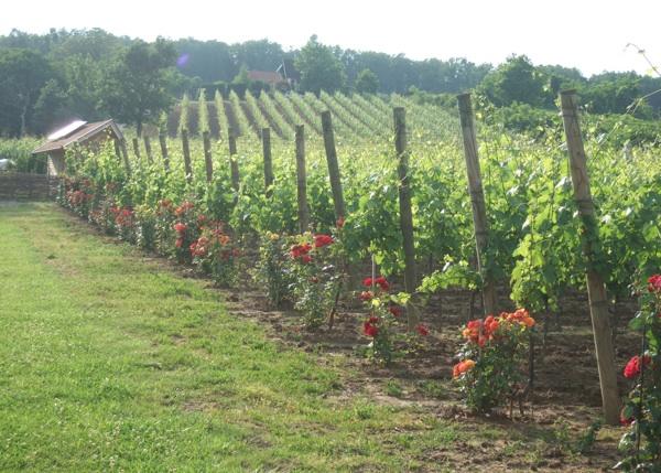 Svaki red vinove lože započinje - ružom (Fotografija Markota)