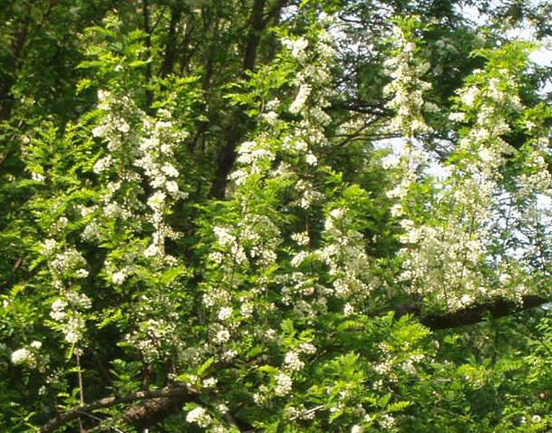 Cvijet bagrema na koji osobito miriše bagremov med (Snimio Miljenko Brezak / Acumen)